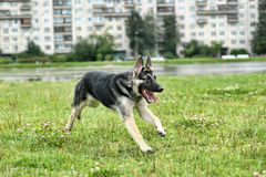 German Shepherd runs Royalty Free Stock Image