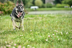 German Shepherd runs Stock Images