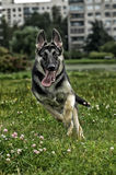 German Shepherd runs Royalty Free Stock Images