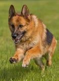 German shepherd runs jumping Royalty Free Stock Image