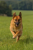 German shepherd runs meadow Stock Photo