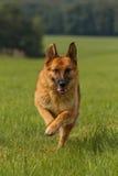 German shepherd runs meadow Stock Photo