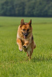 German shepherd runs Royalty Free Stock Photo
