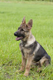 German shepherd`s puppy Stock Photo