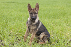 German shepherd`s puppy Stock Image