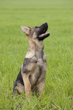 German shepherd`s puppy Royalty Free Stock Photography