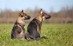 German shepherd`s puppys Stock Image
