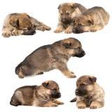 German shepherd`s puppys Stock Image