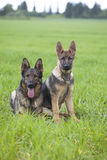 German shepherd`s puppys Royalty Free Stock Image