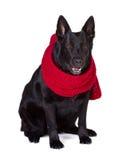 German shepherd in  scarf Stock Images