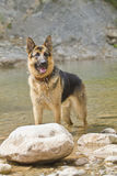 German Shepherd in the shore Royalty Free Stock Photo