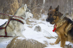 German shepherd and Siberian Husky walking in the winter forest. Royalty Free Stock Photos