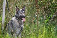 German shepherd. Silver and black German Sheperd tied to fence in field Royalty Free Stock Photo