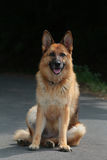 German shepherd sitting front Stock Image
