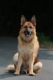German shepherd sitting front Stock Image