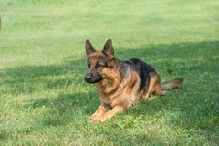 German Shepherd sitting on the green grass. Selective focus on the dog Stock Images