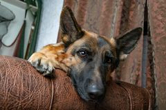 German Shepherd sitting on a leather chair. How to teach a dog to order. Pet spoils the furniture, tears up the chair upholstery, shits royalty free stock photo