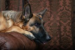 German Shepherd sitting on a leather chair. How to teach a dog to order. Pet spoils the furniture, tears up the chair upholstery, shits stock photography