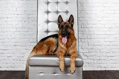 German Shepherd sitting on a leather chair. How to teach a dog to order. Pet spoils the furniture, tears up the chair upholstery, shits stock photo