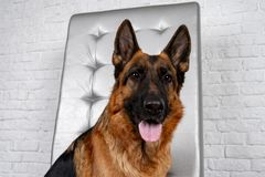 German Shepherd sitting on a leather chair. How to teach a dog to order. Pet spoils the furniture, tears up the chair upholstery, shits stock image