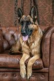 German Shepherd sitting on a leather chair. How to teach a dog to order. Pet spoils the furniture, tears up the chair upholstery, shits royalty free stock image