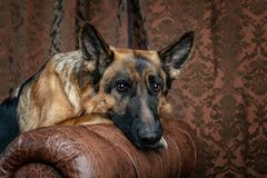 German Shepherd sitting on a leather chair. How to teach a dog to order. Pet spoils the furniture, tears up the chair upholstery, shits stock images
