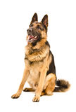 German Shepherd. Sitting looking up isolated on white background royalty free stock photos