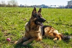 German Shepherd sitting. Nearby is a toy ball stock image