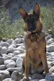 German Shepherd. Dog near the sea Royalty Free Stock Photo