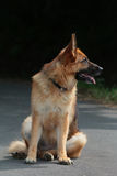 German shepherd sitting right Royalty Free Stock Images