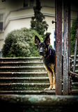 German shepherd sitting on the stairs of the castle park Stock Photo