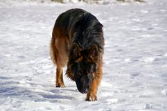 German Shepherd sneaking in the snow. A male German Shepherd is stalking an imagined prey in the snow, fully focused on it Royalty Free Stock Photos