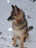 German Shepherd in the snow Stock Images