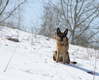German shepherd on a snow-covered slope Royalty Free Stock Image