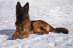 German Shepherd in the snow. A male German Shepherd lying in the snow, taking a break from chewing on his stick Stock Photos