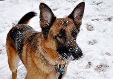 German Shepherd in the Snow royalty free stock photos