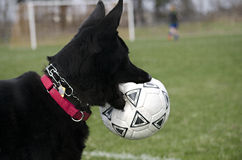 German Shepherd with soccer ball Royalty Free Stock Photography