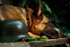 German shepherd with soldiers helmet. Adult German shepherd lies near the helmet Royalty Free Stock Photography