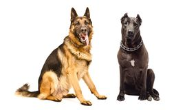 German Shepherd and Staffordshire terrier sitting together. Isolated on white background royalty free stock photo