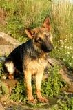 German Shepherd on stairs stock photos