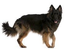 German Shepherd standing Royalty Free Stock Photo