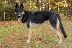 German Shepherd standing Royalty Free Stock Photos