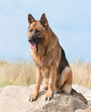 German Shepherd. Stands on a rock Stock Photography