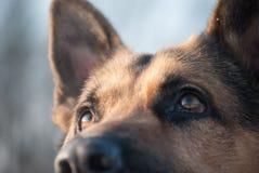German shepherd stares Stock Photography