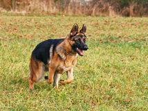 German shepherd starting Royalty Free Stock Images