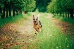 German Shepherd Stick Chewing Outdoor Stock Image