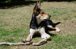 German Shepherd with stick. German Shepherd dog posing and playing with a stick in the garden Stock Image