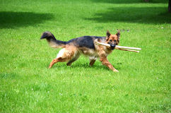 German shepherd with stick Royalty Free Stock Photo
