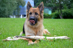 German shepherd with stick Stock Images