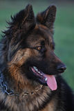 German Shepherd stock photo Royalty Free Stock Photo